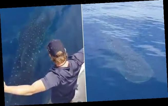 Incredible moment world's largest fish swims just metres from a boat