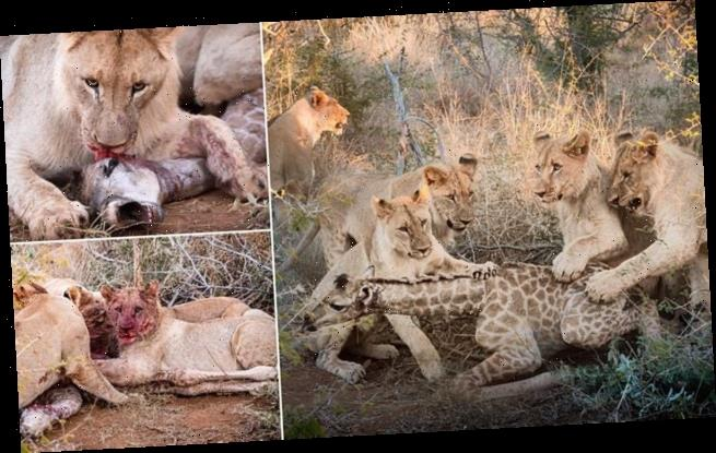 Five young lions PLAY with baby giraffe before they kill it