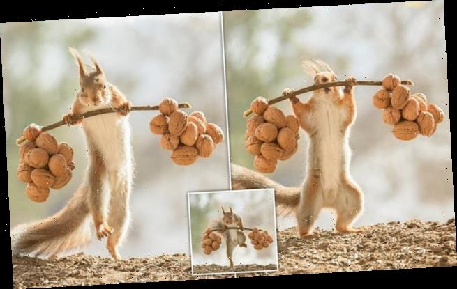 I want to be a squirrel chip-HUNK: Rodent goes nuts for weightlifting