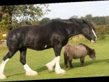 Huge Shire horse becomes stable mates with Shetland pony HALF her size