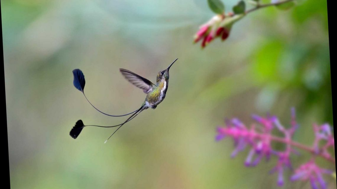 How One Of The World's Rarest Hummingbirds Is Helping Save The Cloud Forests Of Peru