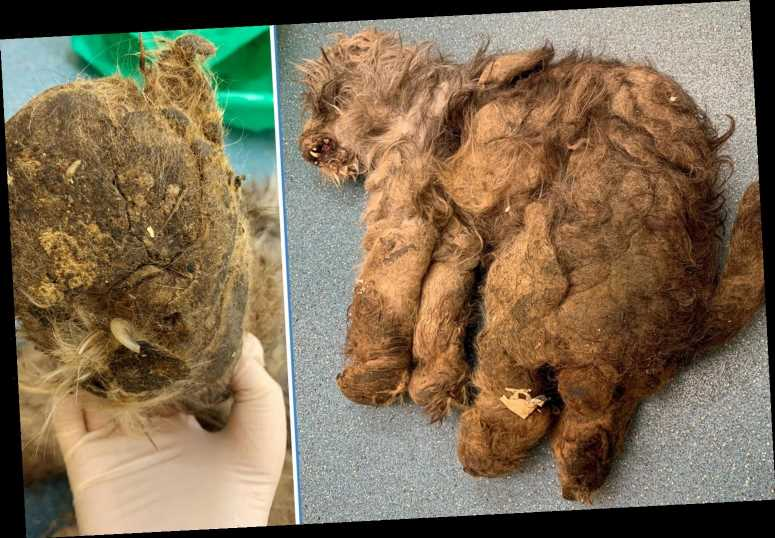 Woman let her neglected pet's fur become so matted vets couldn't identify she was a dog