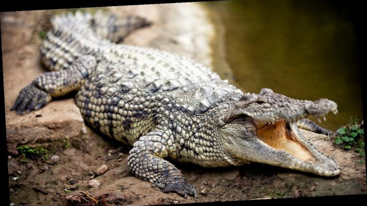 Australian fisherman brings 5-foot crocodile home after capturing it in a dam