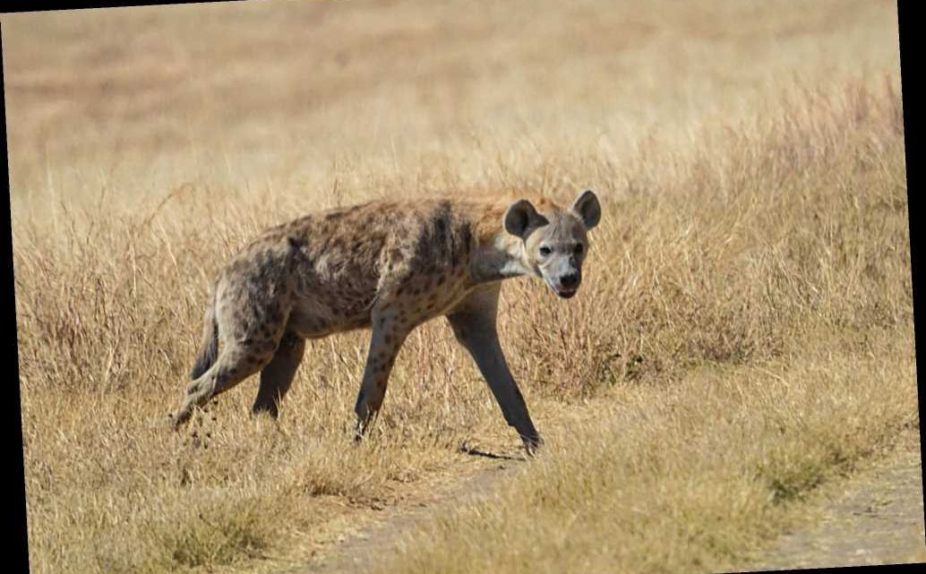 Pack of hyenas drag sleeping elderly man from hut and maul him to death