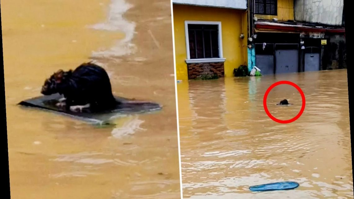 Brilliant moment rat SURFS to freedom on piece of wood as Typhoon Vamco devastates the Philippines