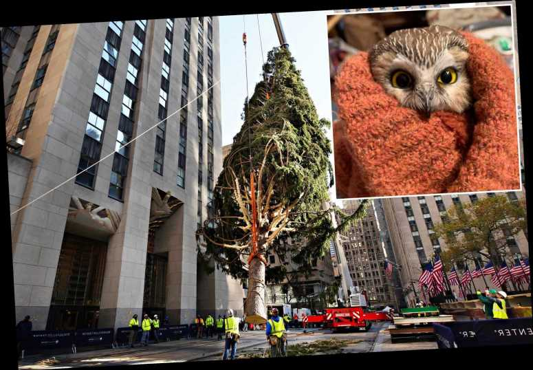 Owl found in 2020 Rockefeller Christmas tree could've been 'crushed'