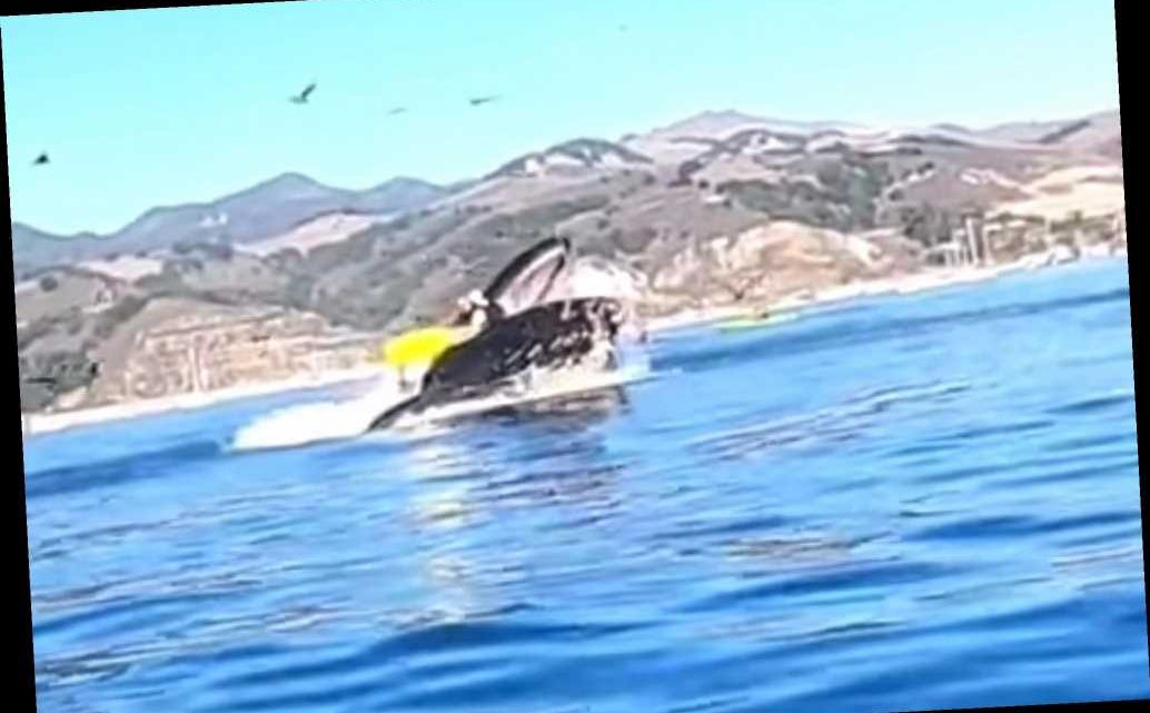 Footage captures shocking moment as whale nearly swallows two kayakers