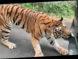 Massive Bengal tiger tries to rip bumper off Indian safari Jeep