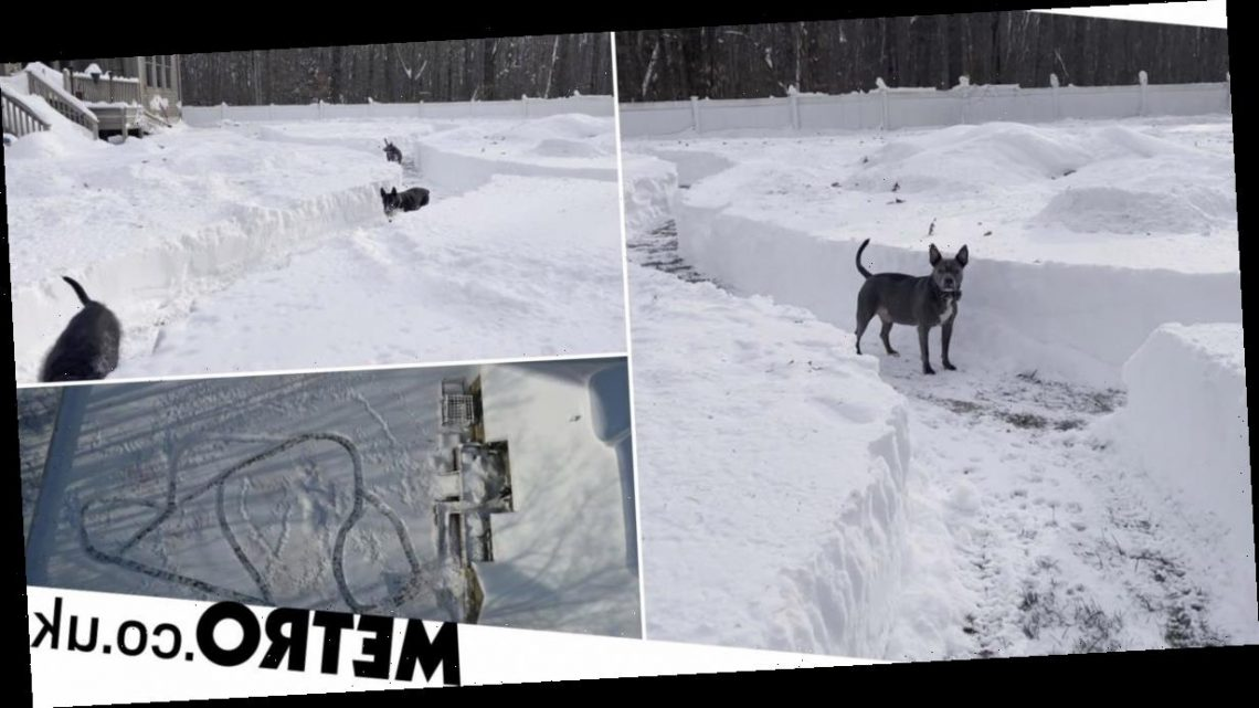 Couple create epic snow maze for their 21 rescue dogs