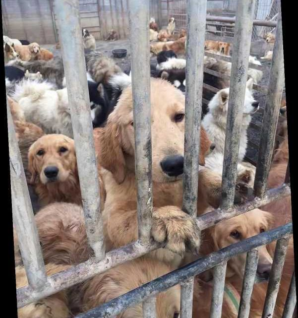 60 Dogs Rescued from China's Dog Meat Trade Need Your Help to Find Loving Forever Homes