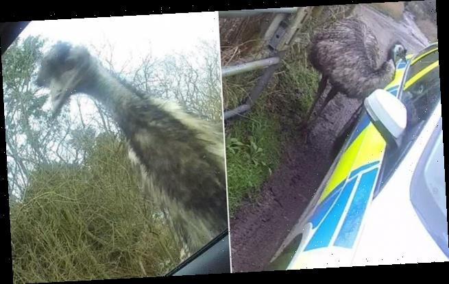Escapee emu pecks into police car as officers try to capture it