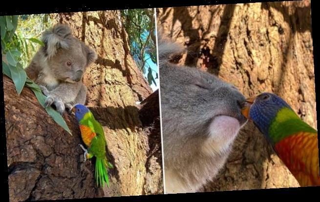 Rainbow lorikeet kisses a koala named Luther in a heartwarming photo