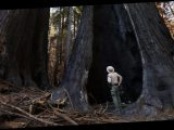 California's iconic redwoods, sequoias and Joshua trees threatened by climate change