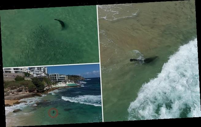 Playful seal spotted frolicking metres from swimmers at Bondi Beach