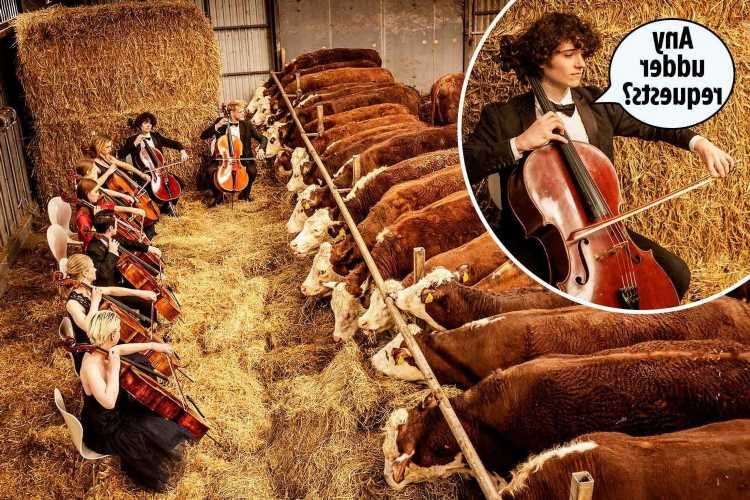 Prize cows 'de-stress' listening to eight cellists playing classical music