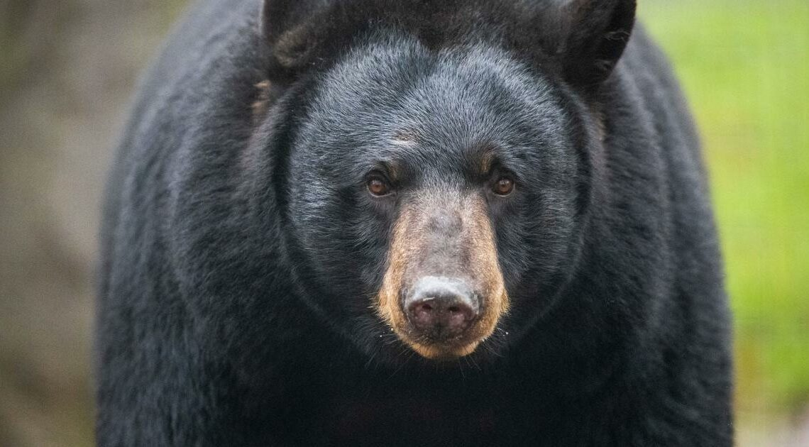 Colorado woman killed in apparent bear attack