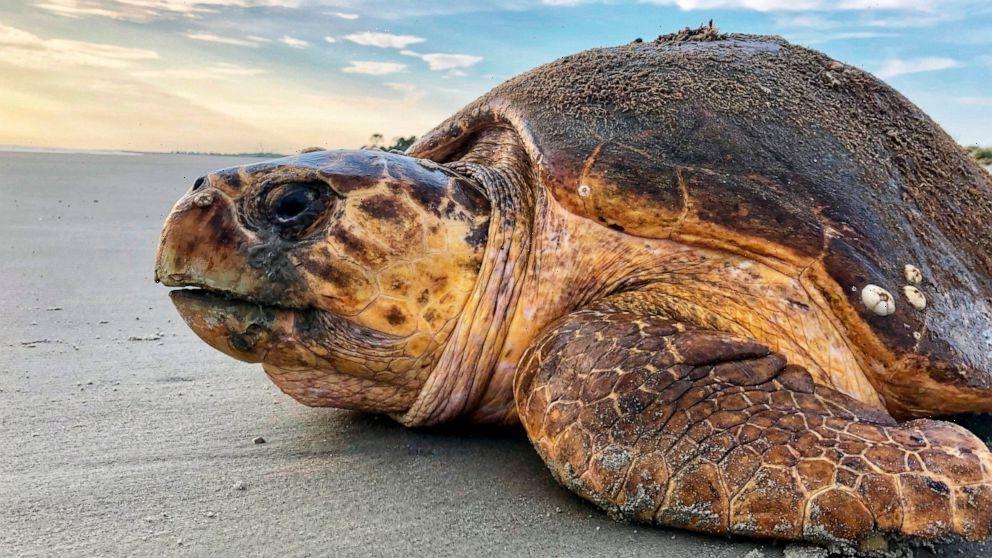 Judge halts Georgia dredging plan over threat to sea turtles
