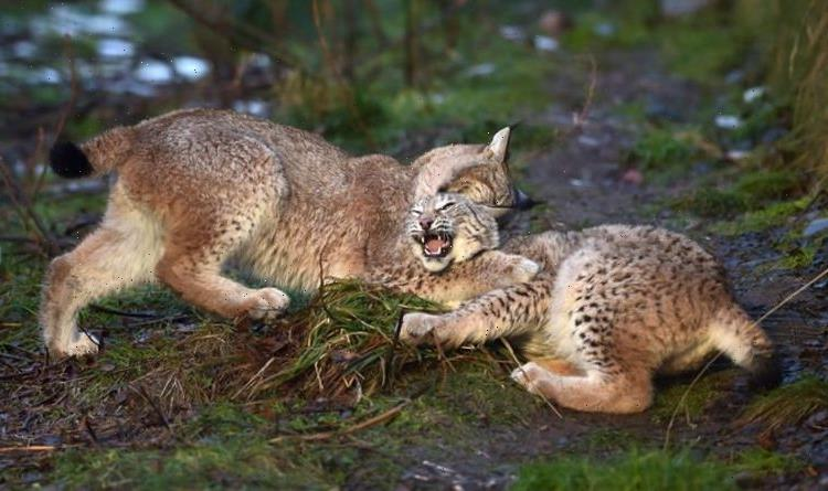 Lynx and wildcats to be reintroduced in England