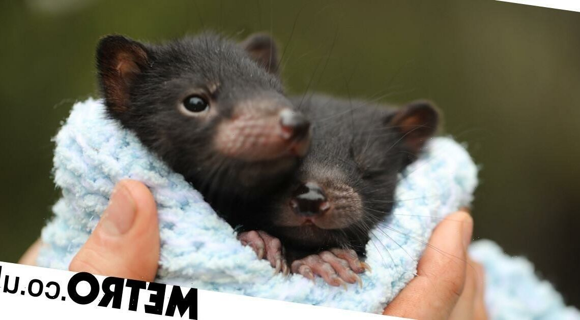 Tasmanian devils born on Australian mainland for the first time in 3,000 years