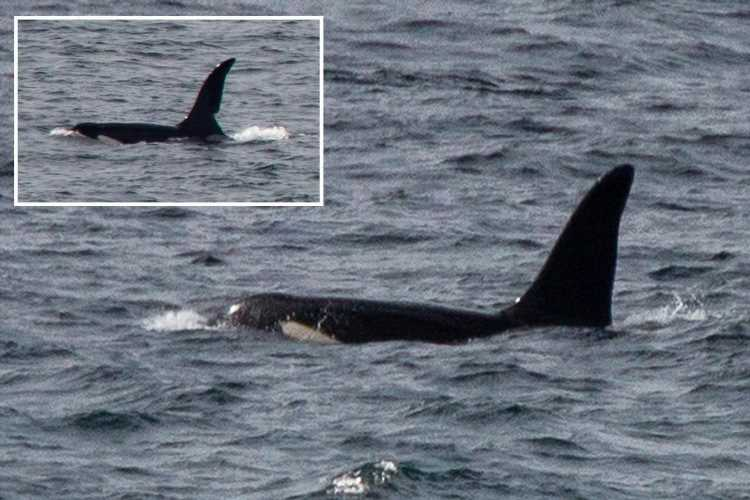 Two killer whales spotted off the coast of Cornwall in rare UK sighting