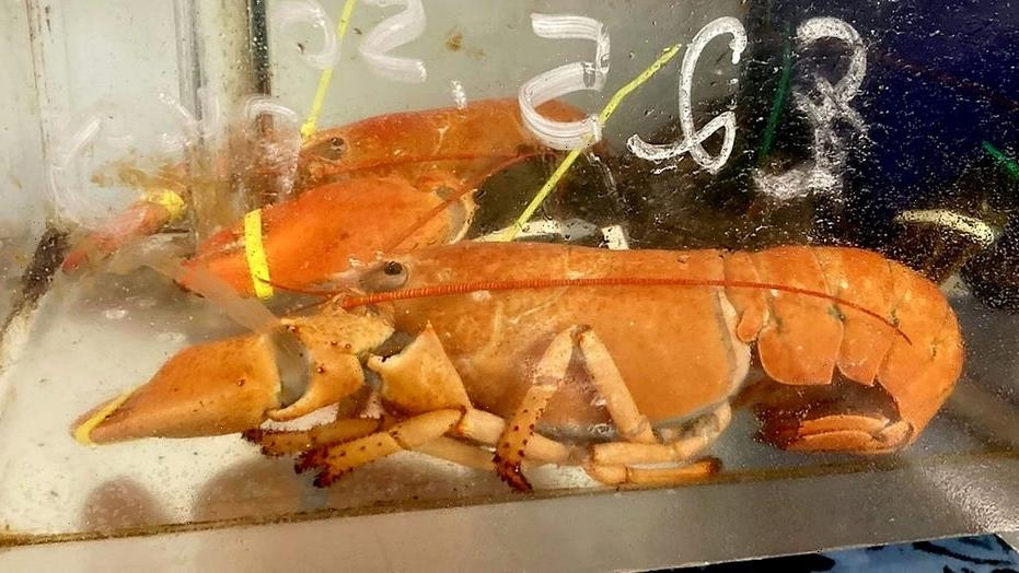 Two of the world's rarest lobsters found in the same tank of England market: 'One in a billion'