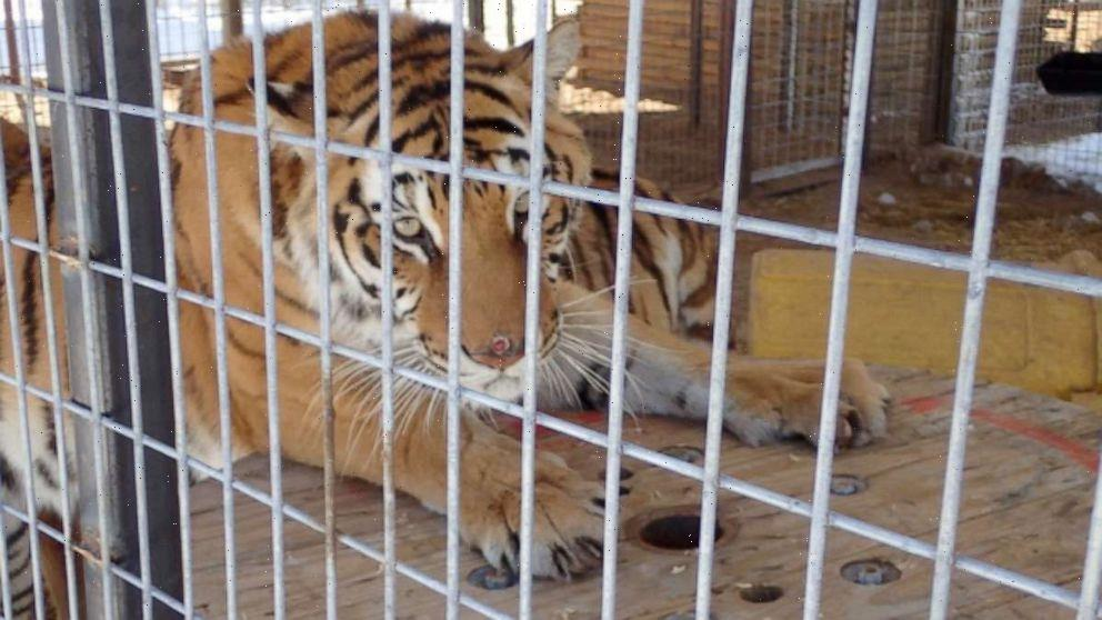 US seizes 68 big cats from exotic animal park owner Jeffrey Lowe of 'Tiger King' fame