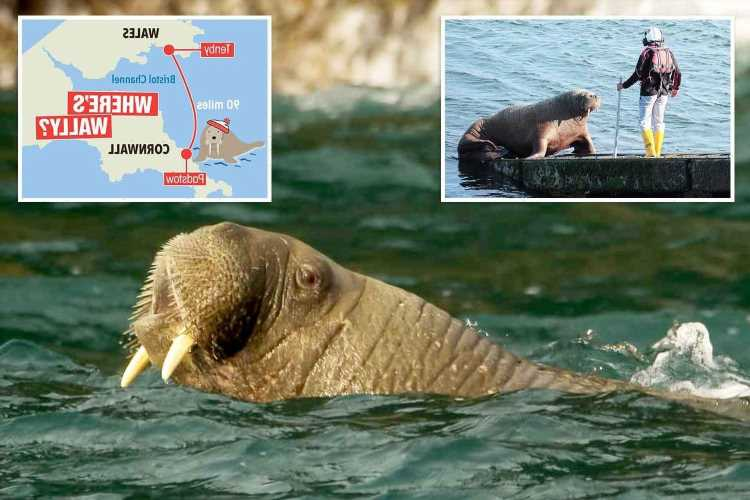 Wally the walrus pops up in Cornwall as he continues his sight-seeing tour of the British Isles