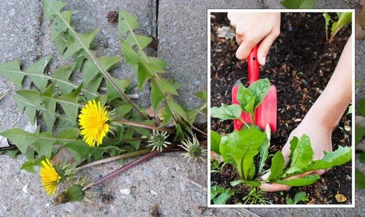 Gardening expert recommends 'fast-acting' weed killer that removes them 'within hours'