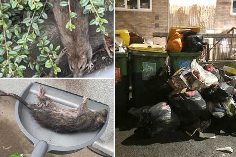 Residents of Welsh estate fighting RAT invasion as trash mountains dumped by fly-tippers attract swarm of rodents