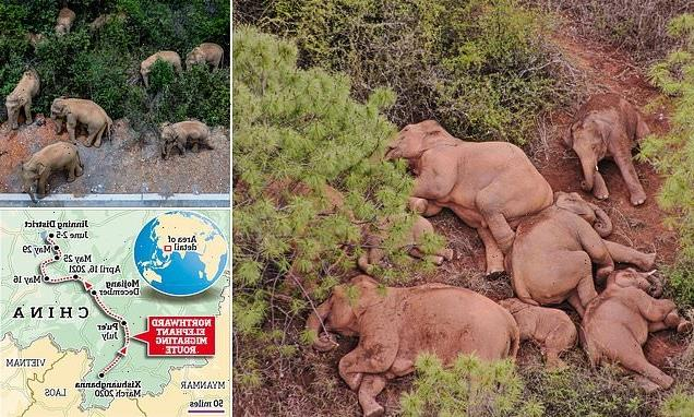 Scientists are baffled by elephant herd's 300-mile trek across China