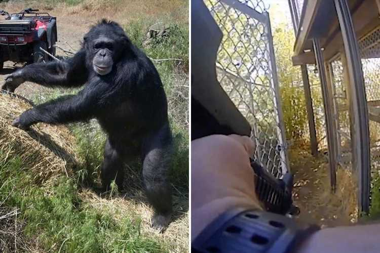 Shock moment pet chimp is shot dead after mauling owner's daughter and savaging her arms and legs