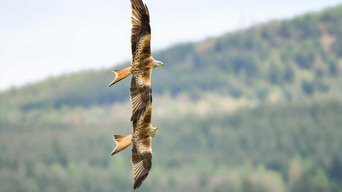 Striking red kites do best impression of the Red Arrows as they fly in formation