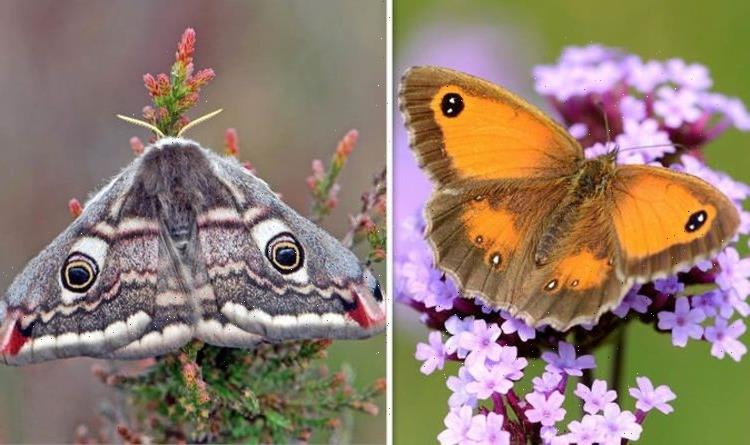 Big Butterfly Count 2021: How to spot the 5 key differences between a moth and a butterfly