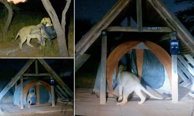 Hilarious moment a cheeky lion sneaks into this camper's tent