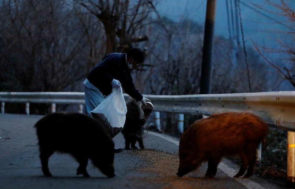 Radioactive wild boar-pigs roam region near Fukushima nuclear disaster