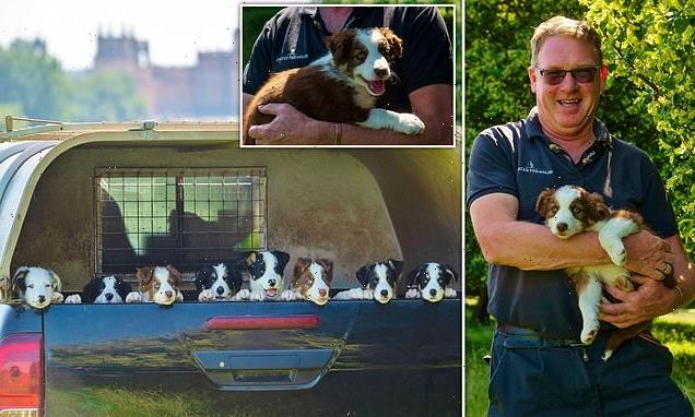 Ten adorable border collie puppies are born at Blenheim Palace