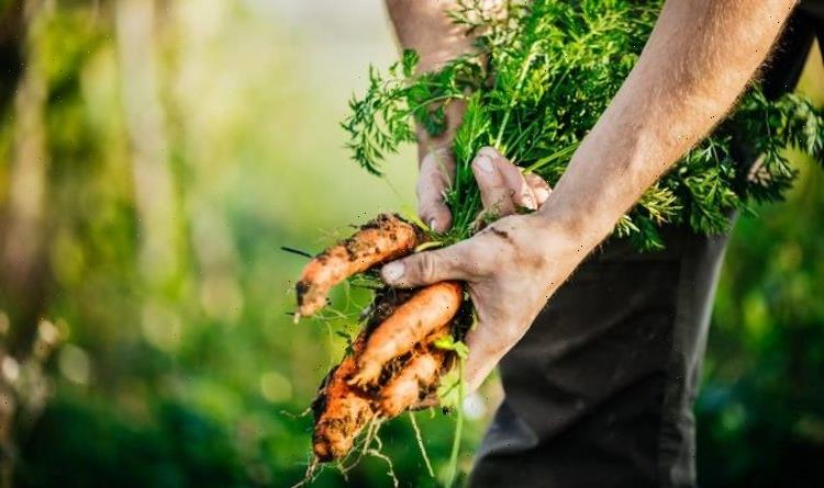 When to pick carrots – how to know when your carrots are ready for harvesting