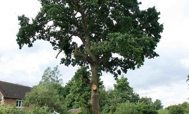 Anger over plans to chop down a 600-year-old Peterborough tree