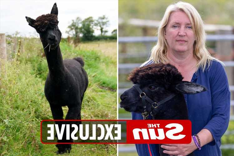 Death-row alpaca Geronimo's heartbroken owner is cherishing every minute with him as he awaits execution