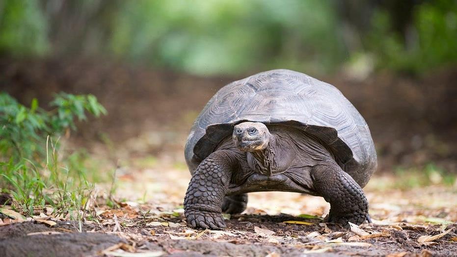 Vegetarian tortoise attacks and eats bird in 'horrifying' video
