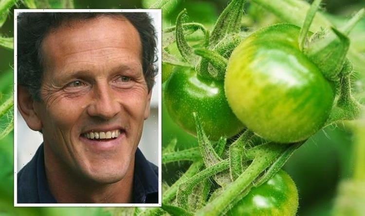 'Left with green tomatoes!' Monty Don shares how to ripen tomatoes after 'too hot' summer