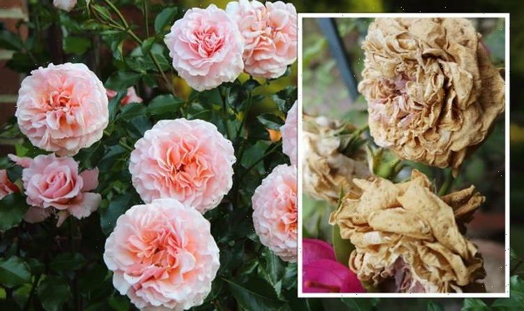 Gardeners' World shares how to look after roses in autumn and prevent 'rot setting in'