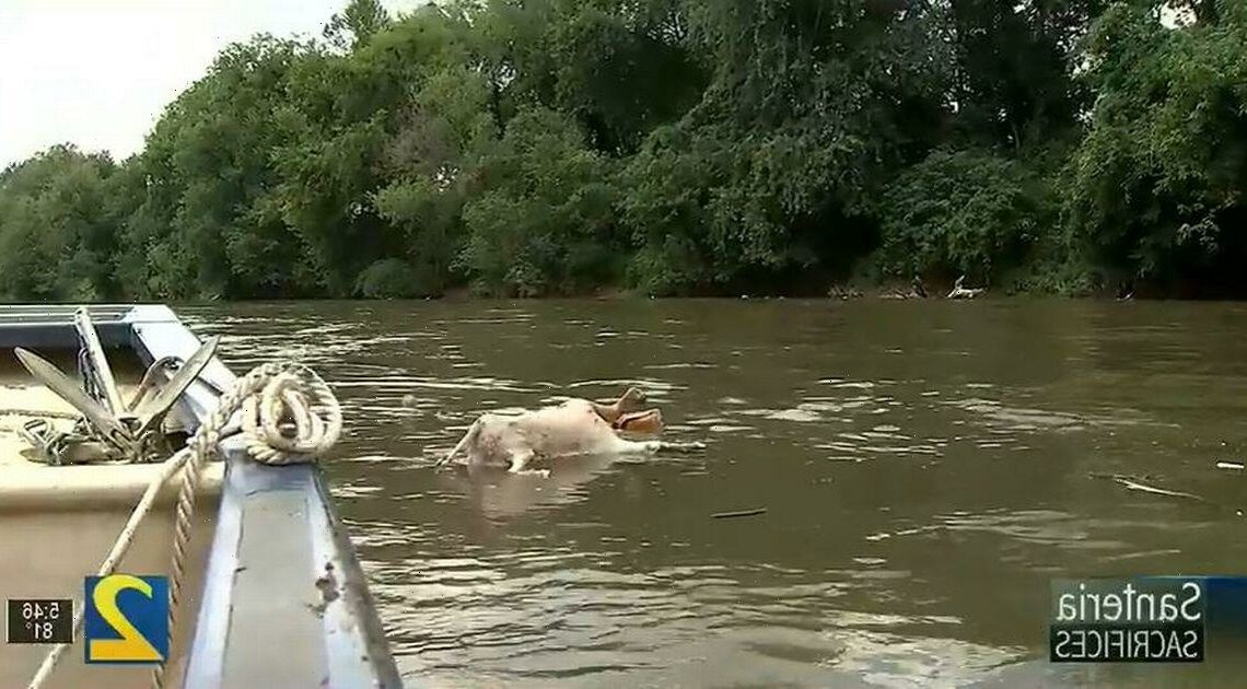 Mystery of headless goats being dumped in river by voodoo-style cult