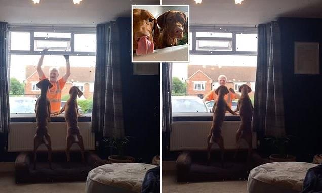 Vizsla dogs patiently wait by a window for a binman they love