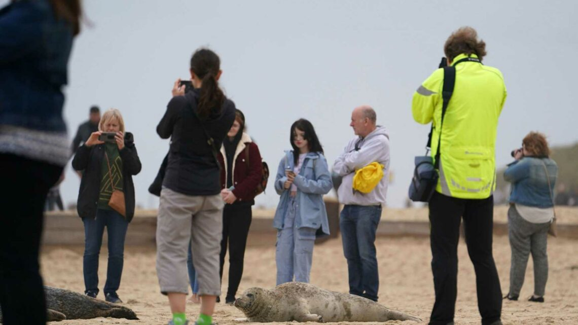 'Really stupid' visitors blasted for getting too close to pregnant seals in Norfolk and putting their own kids in danger