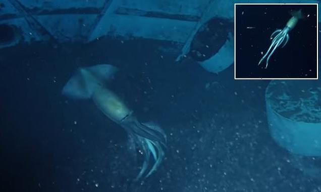 Squid 'larger than a human' is spotted swimming the Red Sea